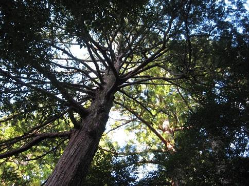 瀧原宮の木
