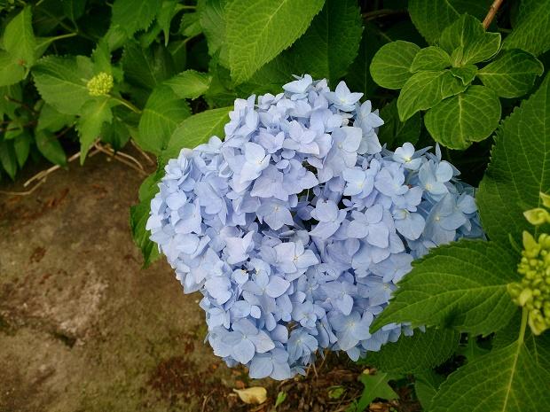 御船山の紫陽花