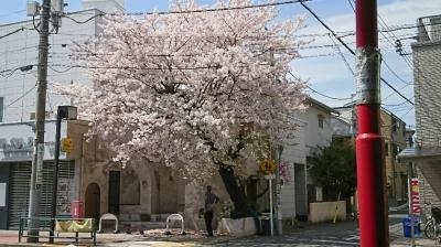 池上通りの桜