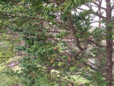 赤い実をつけた木