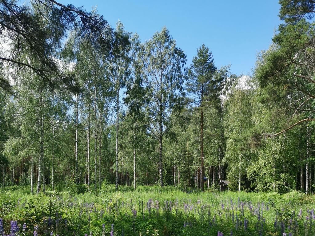 美しいフィンランドの森と白樺の木