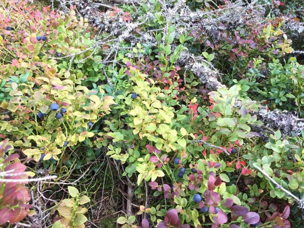 フィンランドの自然享受権とベリー摘み