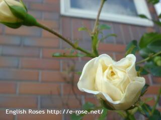 季節外れの薔薇
