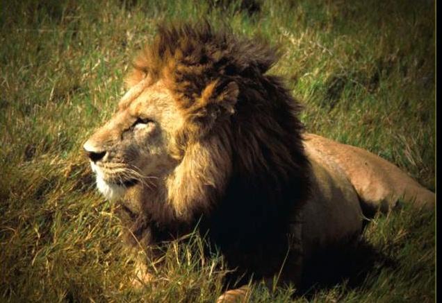 ジャングルの王者ライオン