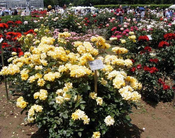 神代時植物園バラ