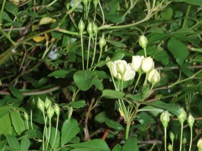 モッコウバラ(黄色)