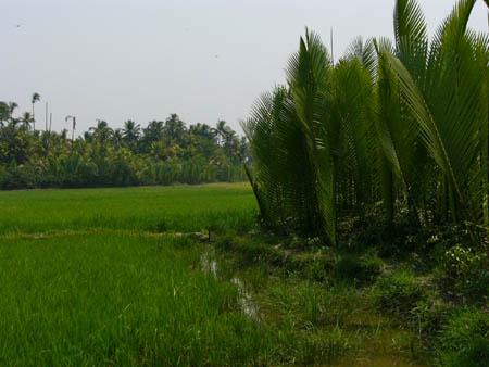 米水田とマングローブ林