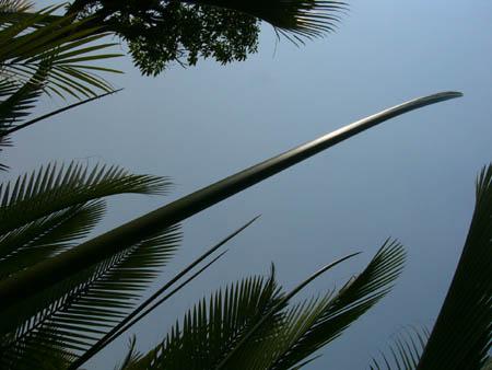 天に向かっているニッパヤシの葉っぱ