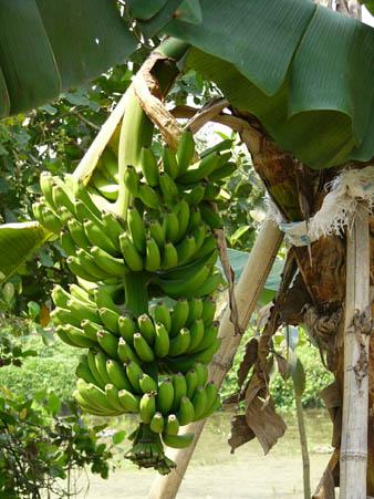 バナナの重みで木が倒れそう