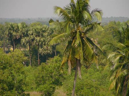 ココナツの木とヤシ砂糖の木