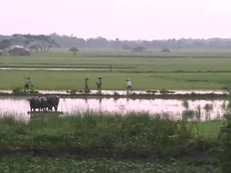 水牛と共に水田を耕す