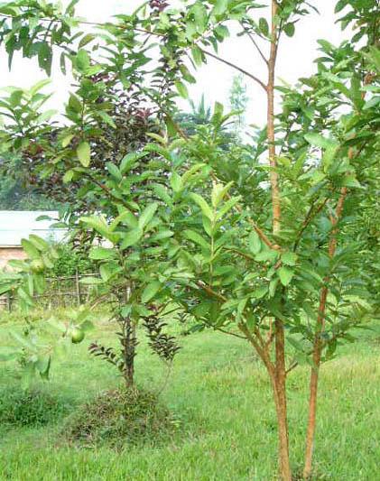 庭のグアバの木