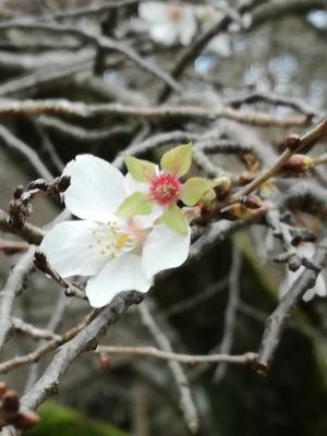 二期咲桜。今咲いている。