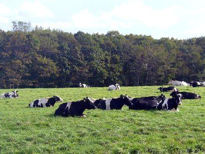 牛たちのくつろぐ午後