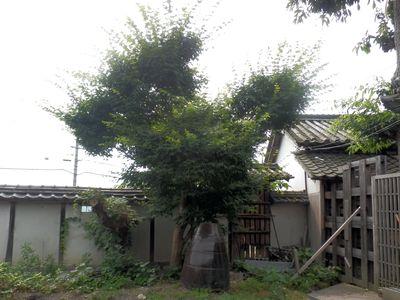 伸び放題の庭木。もみじ
