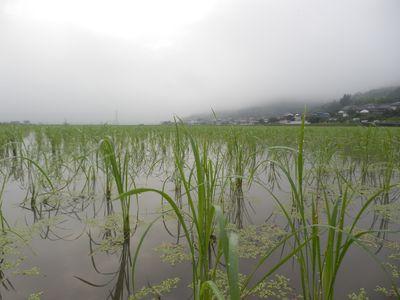 朝もやをまとう田んぼの景色