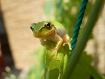エコカーテンにカエル
