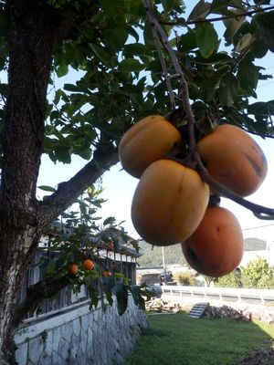 我が家の柿は今年も不作