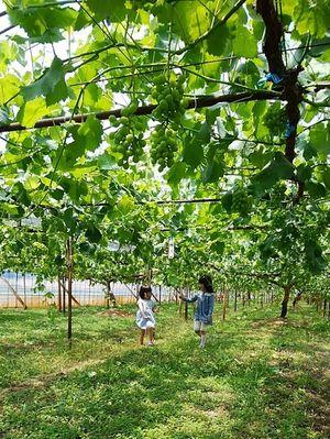 ブドウ畑と少女