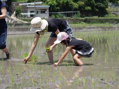 無農薬の有機米