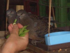 鳩ヶ谷の山鳩たち