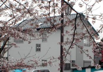 桜越しの現場2