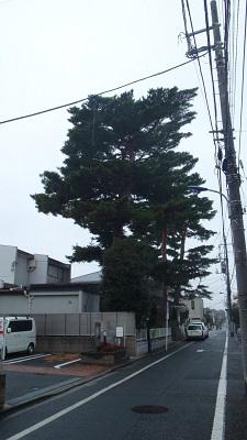 「大木の力恐るべし」