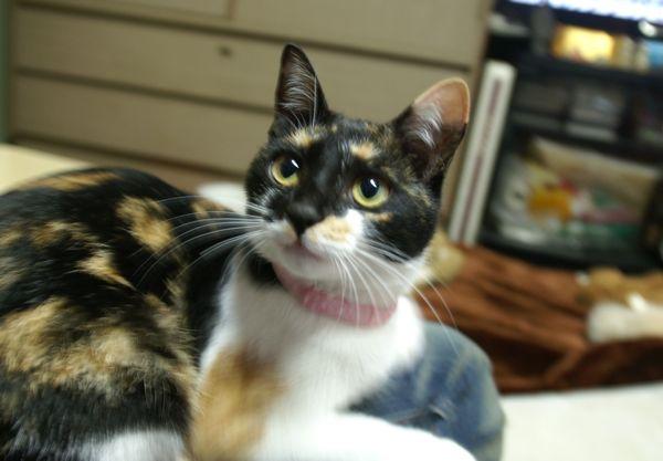 我が家の猫「ココ」