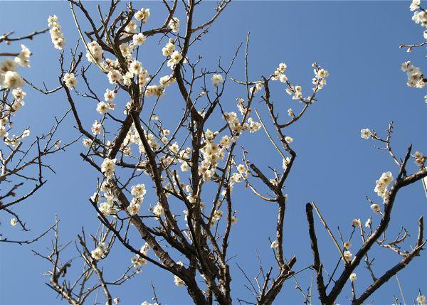 2013年我が家の梅の開花1