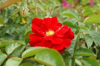 里見公園に咲くバラ1