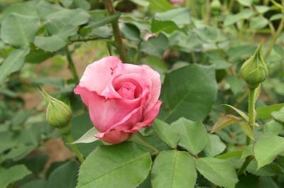 里見公園に咲くバラ2