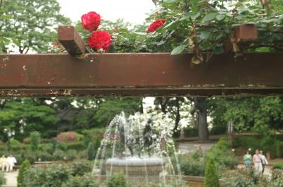 里見公園に咲くバラ3