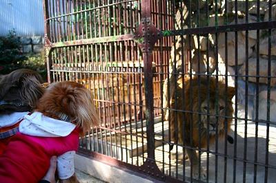 百獣の王 ライオン様だっY(>ω<、)Y ヒェェーーッ!