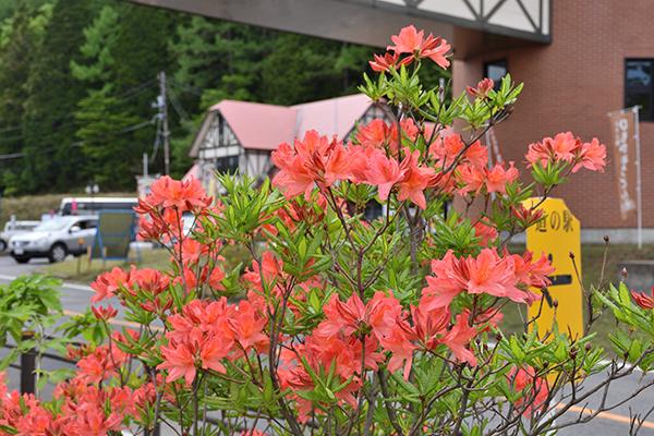 町内『レンゲツツジ』開花状況〜5月17日現在