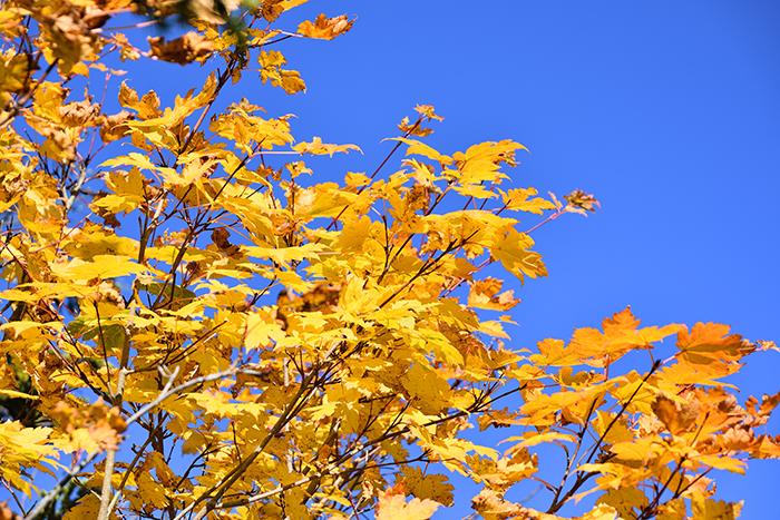 『芳ヶ平湿原』紅葉状況〜10月10日現在