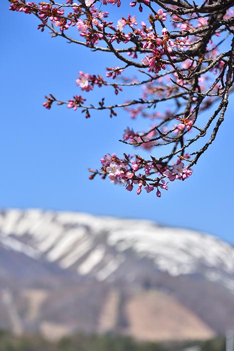「町内開花状況」〜令和3年4月22日現在...