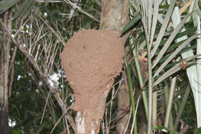 タカサゴ巣