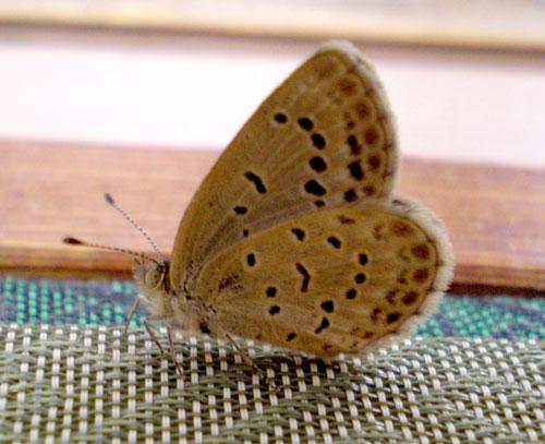 シジミ蝶02
