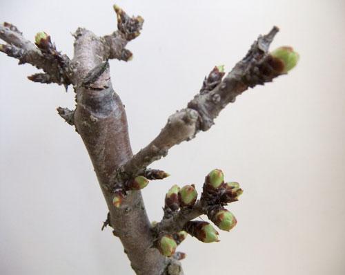 桜盆栽のつぼみ
