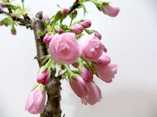 桜盆栽、開花