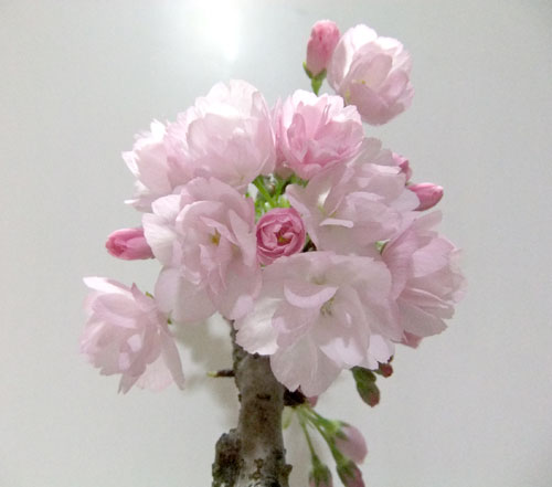 桜盆栽・満開