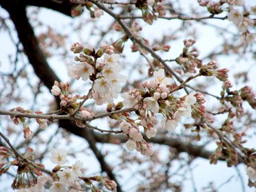 瀬の上小学校桜