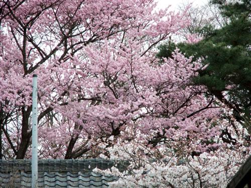 青柳神社・桜(玄関前より)