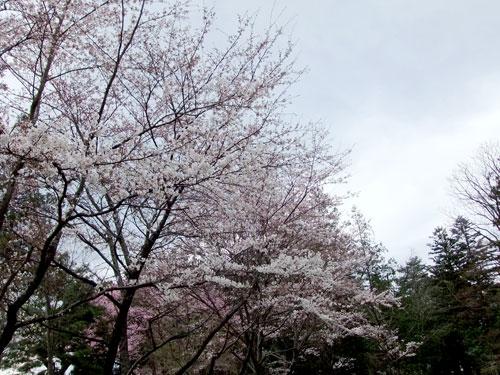 青柳神社・桜