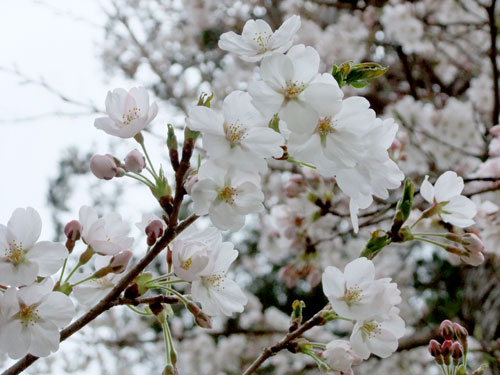 青柳神社・桜アップ