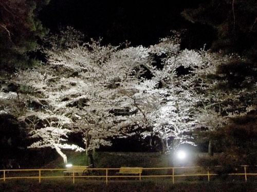 信夫山夜桜