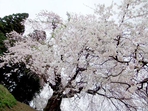大蔵寺の枝垂れ桜