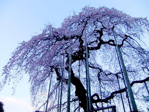 慈徳寺の種まき桜