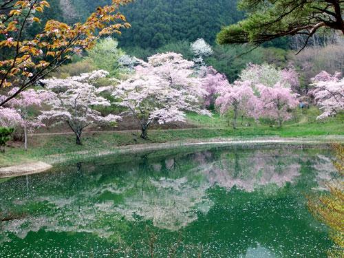 沼のほとりの桜
