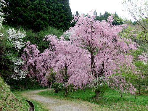 半田沼の桜